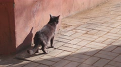 Small gray cat on the sidewalk on the footpath, lonely cute pet in the street Stock Footage