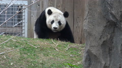 Bao Bao panda rests, heavy breathing Stock Footage