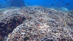 Huge field of lettuce coral full of colourful anthias Stock Footage