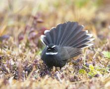 White Throated Fantail (Rhipidura Albicollis) Stock Photos