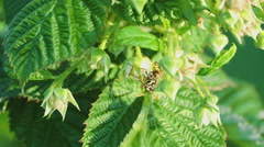 Common Wasp ( Vespula vulgaris Stock Footage