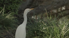 Egret By Water Close Up Stock Footage