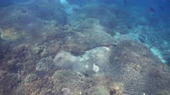 Huge filed of Acropora hard coral Stock Footage