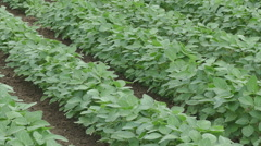 Agriculture, soybean field, zoom out video Stock Footage