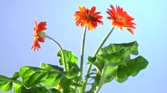 Flower comes alive after watering.  Gerbera flower. - stock footage