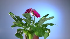 Flower withers without watering, and reviving from a watering. Gerbera flower. Stock Footage