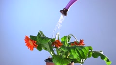Flower withers without watering, and reviving from a watering. Stock Footage