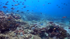 Hard and soft coral reef full of tropical fishes with blue-spotted pufferfish - stock footage