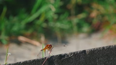 Red dragonfly rest Stock Footage
