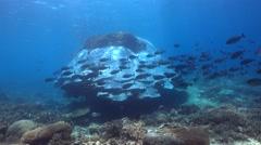 Huge hard coral boomie with school of sleek unicornfish (Naso hexacanthus) Stock Footage