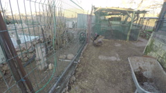 Two turkey walking divided mesh fence - stock footage