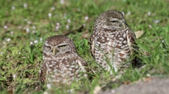 A pair of cute Burrowing Owls in south Florida Stock Footage