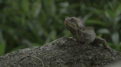Jesus Lizard (Basiliscus) Medium Shot Stock Footage