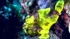 Warty frog fish (Antennarius maculatus) Stock Footage