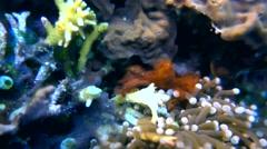Orang utan crab (Achaeus japonicus) Stock Footage