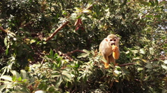 Monkey Eating on Tree Stock Footage