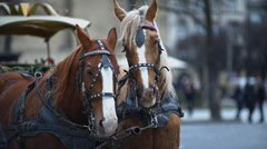 Close up of pair of beautiful horses standing on the street. Horses team. Stock Footage