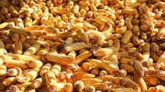 Ears of corn  Stock Footage
