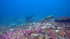 2 Manta ray (Manta blevirostris) swimming in circle very close Stock Footage