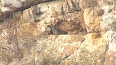 Bird Eagle owl sitting in rock hole and looking for a prey Stock Footage
