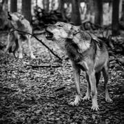 Two howling wolves in black and white Stock Photos