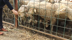 Farmer girl feeding sheep on the farm  Stock Footage