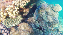 Exotic fish swim near coral reef Stock Footage