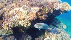 Big fish-surgeon near coral reef Stock Footage