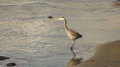 Wild Blue Heron Hunts in Yaquina Bay Animal Wildlife Pacific Ocean West Coast Stock Footage