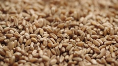 Golden wheat rain,Golden wheat grain filling slow motion closeup macro,dolly Stock Footage