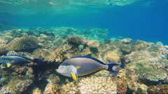 Close-up of surgeon fish swims near coral reef Stock Footage