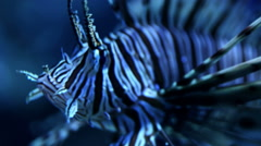 Red lionfish (Pterois volitans) underwater panning shot Stock Footage