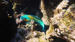 Parrot fish swimming among a coral reef Stock Footage