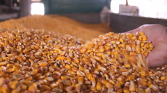 Farmer hands in Corn maize grain trailer  Stock Footage