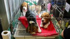 Cute Beagle puppies dog are playing and fighting naughty n the cage in pet shop Stock Footage