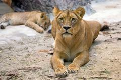 Lioness in the wild - stock photo