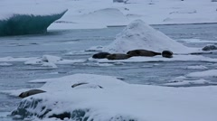 The seals resting on ice floe - stock footage