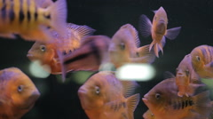 African Cichlid fishes searching for food between snags and green plants Stock Footage