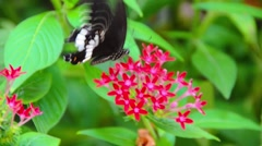 A Black and White Helen butterfly insect is enjoying on Ixora flower nectar Stock Footage