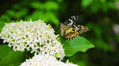 A colorful Clipper butterfly insect is eating white Ixora flower nectar Arkistovideo