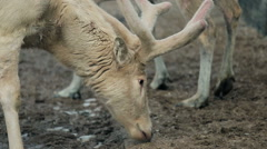 Close-up of reindeer with big beautiful horns Stock Footage