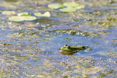 Edible frog, common water frog or green frog -  Pelophylax esculentus Stock Photos