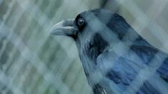Bird black raven behind bars - stock footage