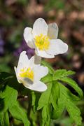 Anemone nemorosa Stock Photos