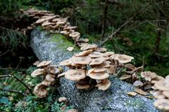 Armillariella mellea, Honey Fungus Stock Photos