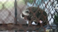 KO SAMUI, THAILAND: A cute baby marmoset in cage at zoo, scratching himself. Stock Footage