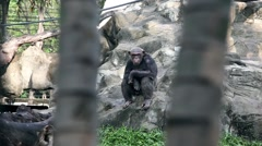 A lonely Chimpanzee sitting on clifs - wondering and looking around - stock footage
