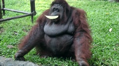 Funny Orangutan playing with a leaf in his mouth - Spending time - Waiting Stock Footage