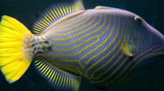 KO SAMUI, THAILAND: Close up shot of an angelfish swimming. Stock Footage