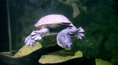 KO SAMUI, THAILAND: Turtle with a very long head swimming in aquarium Stock Footage